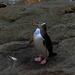 Yellow eyed Penguin by maureenpp