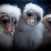 Baby barn owls by mv_wolfie