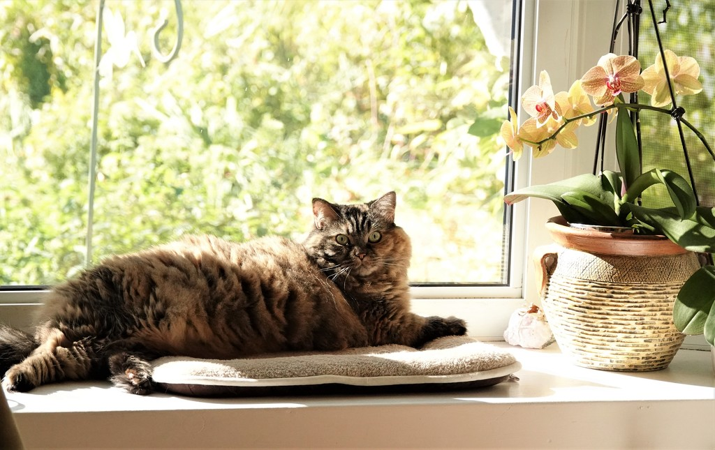 Gracie basking in the Bay window by radiogirl