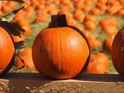 12th Oct 2020 - Pumpkin Patch