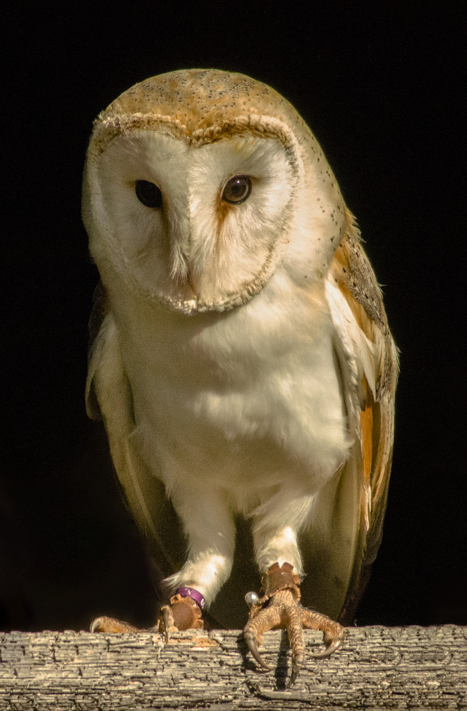Barn Owl by clivee