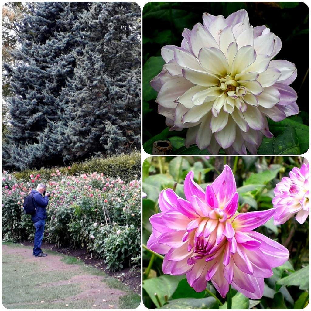 Anglesey Abbey dahlias by mave
