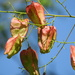 Fruit of the Golden rain tree