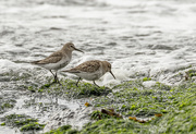 12th Oct 2020 - Dunlins looking for lunch