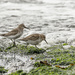Dunlins looking for lunch