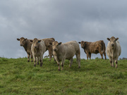 10th Oct 2020 - Curious cows