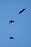 13th Oct 2020 - Crows