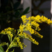 Goldenrod by the front porch...