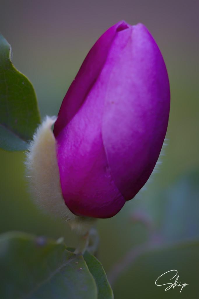 Magnolia Blossom by skipt07