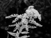 13th Oct 2020 - Goldenrod in black and white...