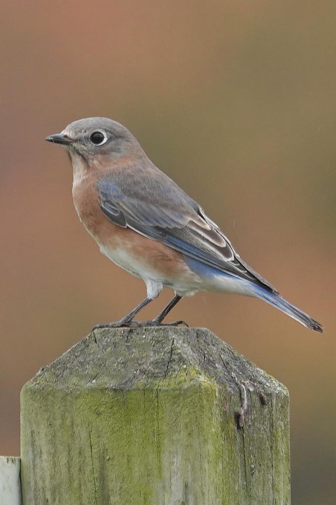 Eastern Bluebird by annepann