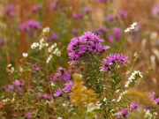 12th Oct 2020 - new england asters