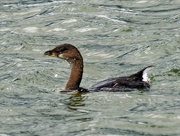 12th Oct 2020 - pied-billed grebe