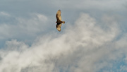 12th Oct 2020 - turkey vulture in the clouds