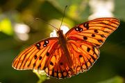 12th Oct 2020 - Sunlit Gulf Fritillary Butterfly in the Sunlight!