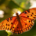 Sunlit Gulf Fritillary Butterfly in the Sunlight! by rickster549