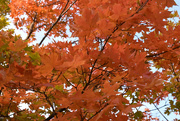 10th Oct 2020 - Orange tree