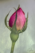 1st Oct 2020 - Rose Bud