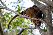 14th Oct 2020 - Ringtail Possum and her babies