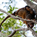 Ringtail Possum and her babies