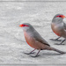 Common  Waxbills