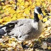 Intrepid Canadian Goose