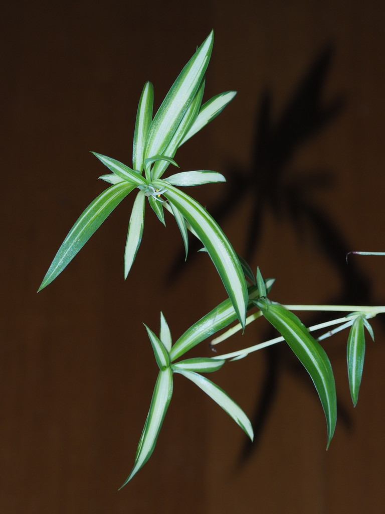 Spider Plant by katford