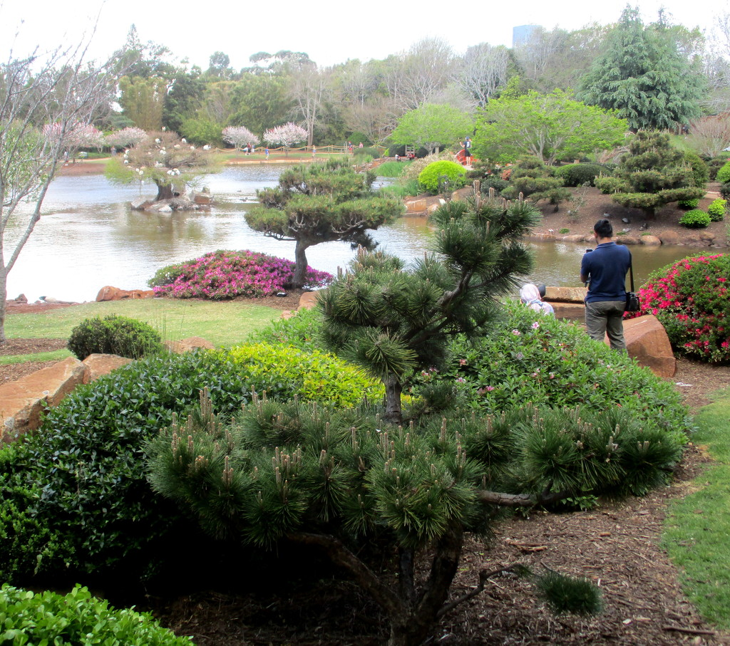 bonzai trees in the Japanense gardens by 777margo