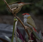 12th Oct 2020 - Red Brow Finches