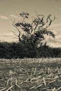 12th Oct 2020 - YE OLDE OAK TREE