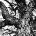 Trees of Keurboom #3