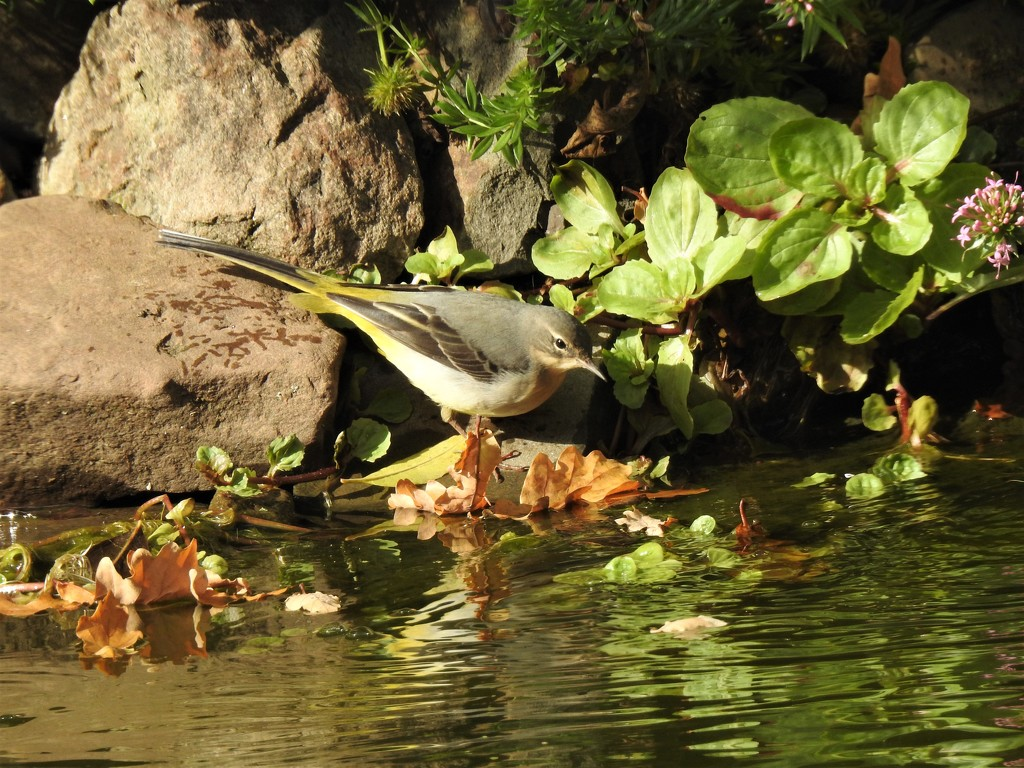 The Return of The  Grey Wagtail  by susiemc