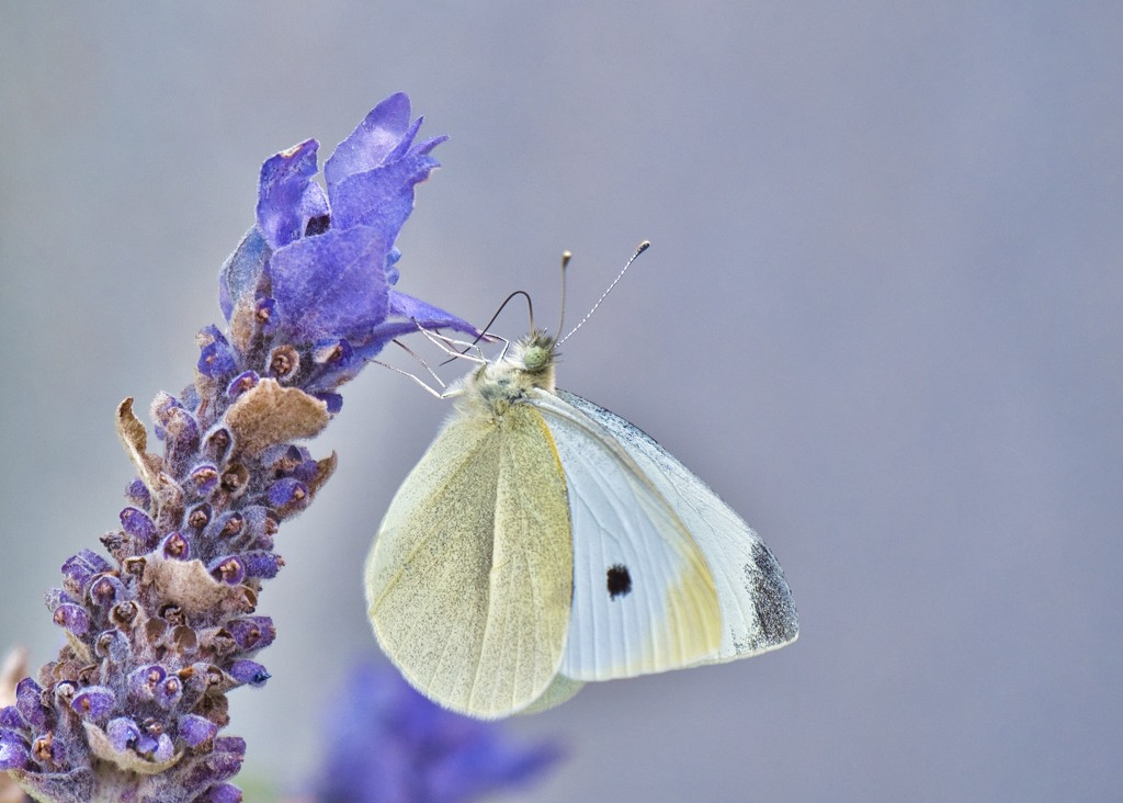 Plain Jane Of The Butterfly World PA130146 by merrelyn