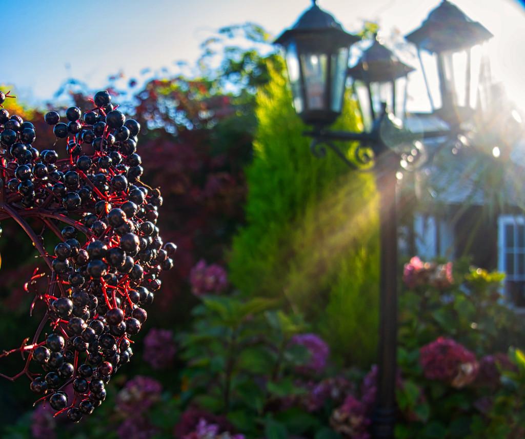 Elderberry by tonygig