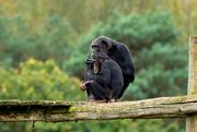 12th Oct 2020 - Chimps
