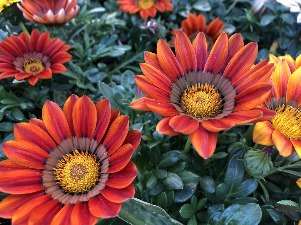 Gazania  by loweygrace