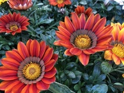 13th Oct 2020 - Gazania