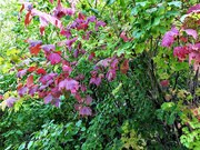 13th Oct 2020 - Autumns colours!