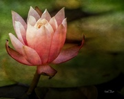 13th Oct 2020 - the Last of the Water Lilies