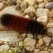 woollybear