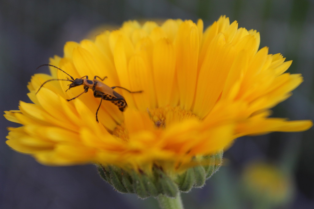 Goldenrod Soldier Beetle by themusketeers
