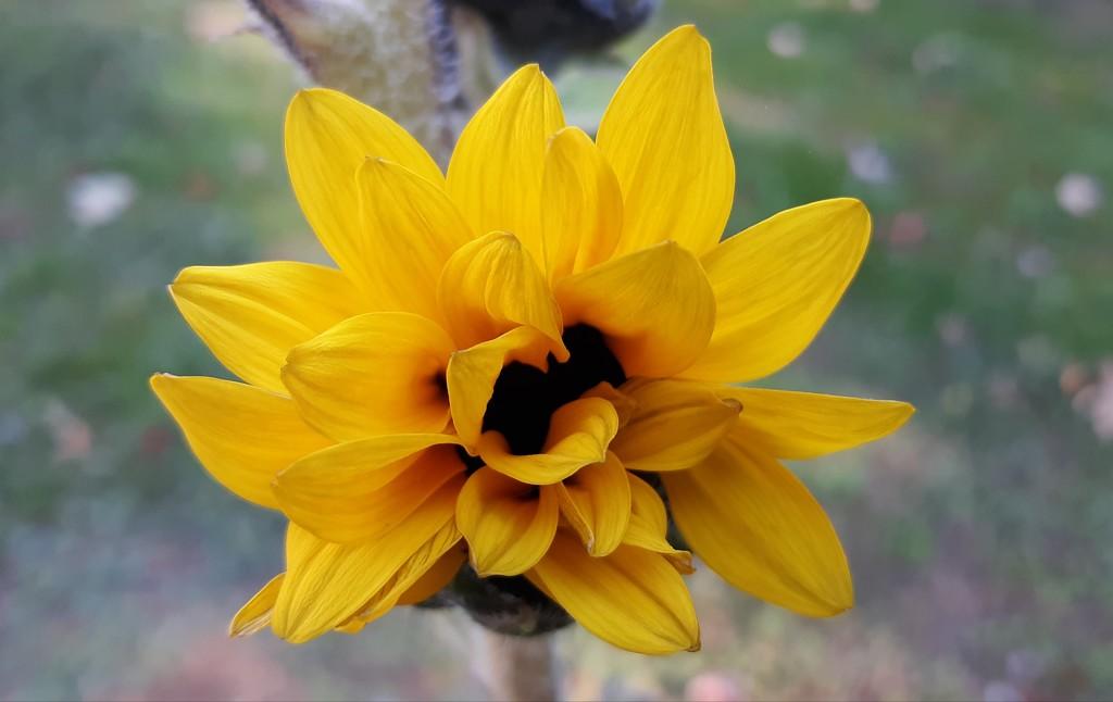 Last Little Sunflower by julie