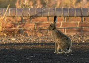 13th Oct 2020 - Hare today, gone tomorrow