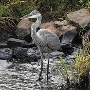 13th Oct 2020 - A really Young Heron
