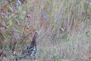 10th Oct 2020 - Grouse