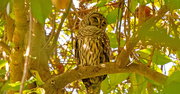 13th Oct 2020 - Barred Owl, Taking a Snooze!