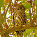 Barred Owl, Taking a Snooze!