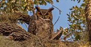 13th Oct 2020 - Great Horned Owl, Giving Me the Eye!
