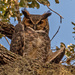 Great Horned Owl, Giving Me the Eye! by rickster549