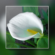 14th Oct 2020 -  Arum Lily